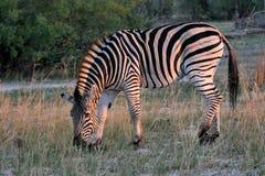 Równiny zebry, Equus kwaga, Hwange park narodowy, Zimbabwe zdjęcie royalty free