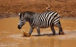 Równiny zebry Equus kwaga przy waterhole Obraz Stock