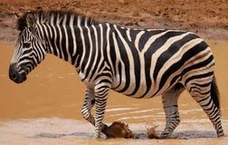 Równiny zebry Equus kwaga przy waterhole zdjęcia stock