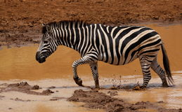 Równiny zebry Equus kwaga przy waterhole obraz royalty free
