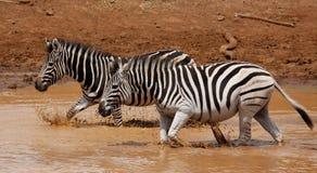 Równiny zebry Equus kwaga przy waterhole fotografia stock