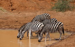 Równiny zebry, Equus kwaga przy waterhole Obraz Royalty Free