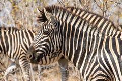 Równiny zebry Headshot zdjęcie stock
