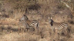 Równiny zebry oseska młodzieniec obrazy stock