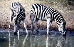 Równiny zebry para przy Mkhuze gry rezerwy waterhole plateau w Mt Zebra park narodowy Obrazy Royalty Free