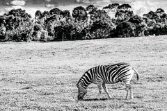 Równiny zebry pasanie Czarny i biały wizerunek obrazy royalty free