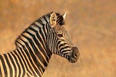 Równiny zebry portret fotografia stock