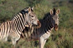 Równiny zebry portret zdjęcie stock