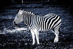Równiny zebry pozycja na trawie - stylizowany czarny i biały po zdjęcie stock