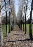 równoległe drzewa zdjęcie royalty free