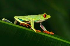 Rödögd trädgroda, Agalychnis callidryas, djur med stora röda ögon, i naturlivsmiljön, Costa Rica Härligt exotiskt djur fr Royaltyfria Bilder