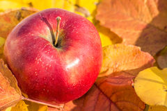 Röd äpplecloseup på höstsidor Arkivfoton