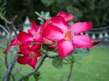 Röd ökenblommaadenium Arkivfoton