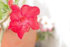 Röd ökenrosblomma Royaltyfri Fotografi