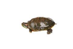 Röd örasköldpadda Royaltyfria Bilder