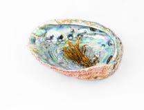Röd abalone beskjuter med pearlworten överst Arkivfoto