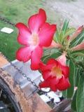 röd adeniumobesum royaltyfri bild