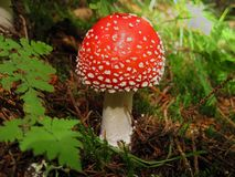 Röd agarictoadstoodchampinjon i gräs arkivfoton