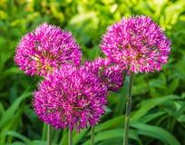 Röd Allium Royaltyfria Foton