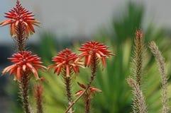 Röd aloe Vera blommar i trädgården under solljuset med suddig bakgrund royaltyfri foto