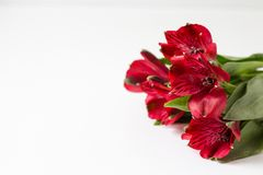 Röd alstroemeria på en vit bakgrund fotografering för bildbyråer
