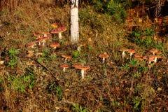 Röd Amanita för giftig oätlig champinjon Arkivbild