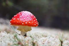 Röd Amanitachampinjon Arkivfoto