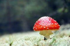 Röd Amanitachampinjon i trä Arkivfoton