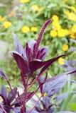 Röd amaranth & x28; Amaranthuscruentus& x29; Arkivfoto