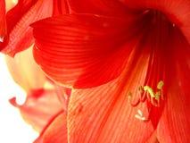 Röd amarylisblomma arkivbilder