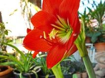 Röd amaryllisblom Royaltyfria Bilder