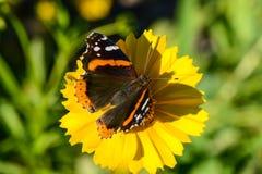 Röd amiral Butterfly på blomman Arkivbilder