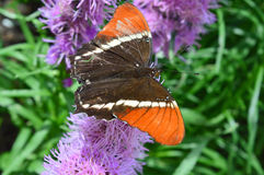 Röd amiral Butterfly på blomman royaltyfria bilder