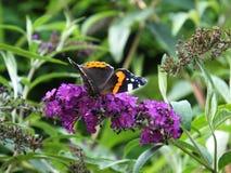 Röd amiral Butterfly på Loosestrife Arkivbilder
