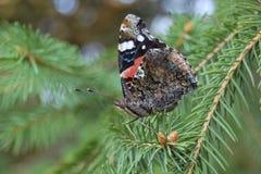 Röd amiral för fjäril på julgranen Arkivfoto