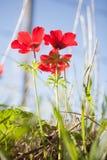 Röd anemon Royaltyfri Fotografi