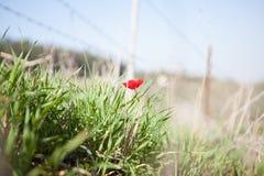 Röd anemon Arkivbild