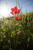 Röd anemon Arkivfoto