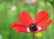 röd anemoncloseup Royaltyfri Fotografi