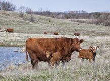 Röd angus ko med kalvar arkivbild