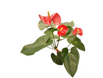 Röd Anthuriumblomma Arkivfoto