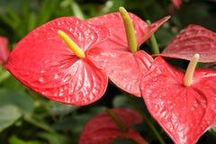 Röd Anthuriumblomma i en parkera Fotografering för Bildbyråer