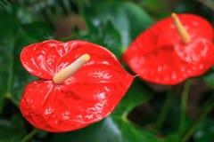 Röd anthuriumcloseup Arkivfoto
