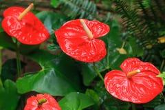 Röd anthuriumcloseup Royaltyfria Foton