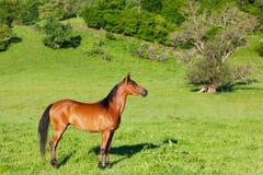 Röd arabisk häst Arkivbilder