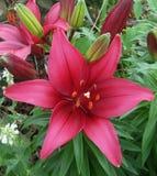 Röd asiatisk lilja Arkivbild