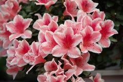 Röd azalea Royaltyfria Bilder