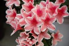 Röd azalea Fotografering för Bildbyråer