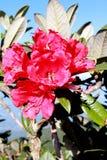 Röd azalea Arkivfoto