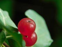 Röd bär` s på en buske arkivfoto